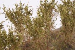 画像4: マーティンウェルバーグ[WB-SBOL]茂みB 株タイプ 全高40mm オリーブグリーン 10株