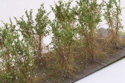 画像3: マーティンウェルバーグ[WB-SBW]茂みB 株タイプ 全高40mm ホワイト 10株