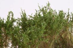 画像4: マーティンウェルバーグ[WB-SCMG]茂みC 株タイプ 全高40mm ミディアムグリーン 10株