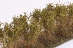 画像3: マーティンウェルバーグ[WB-SCOL]茂みC 株タイプ 全高40mm オリーブグリーン 10株