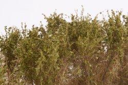 画像4: マーティンウェルバーグ[WB-SCOL]茂みC 株タイプ 全高40mm オリーブグリーン 10株