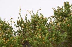 画像4: マーティンウェルバーグ[WB-SDO]茂みD 株タイプ 全高20mm オレンジ 10株