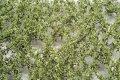 ミニネイチャー[920-12]ブナの枝葉(N)‐夏の盛り